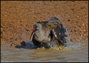 Bathing Hadeda Ibis in Kwa Zulu Natal. (Photo: Andre Botha)