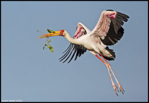 Yellow-billed Stork carrying nesting material in Botswana. (Photo: Andre Botha)