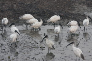 Black-headed Ibis flock foraging in a flooded field. (Photo K.S. Gopi Sundar)