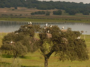 A White Stork colony atop an oak amid pasture in Andalusia. (Photo by F. Torres & S. Palacios)