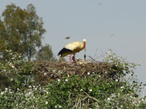 White Stork adult at nest with nestlings in Andalucia. (Photo by J. Romero)