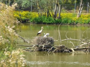 White Stork adult at nest with nestlings in a pond beside cropfields in Andalucia. Though the nest is not too high, a chick falling out would likely not survive. (Photo by J. Romero)