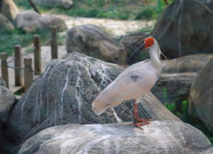 Crested Ibis adult in captivity. (Photo from Wiki Commons)