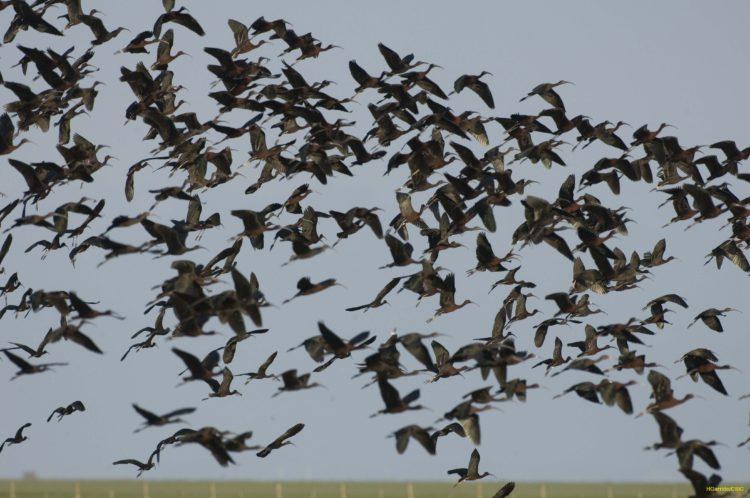 Glossy ibises flying at Doñana marshland, Spain. © Héctor Garrido, 2008.