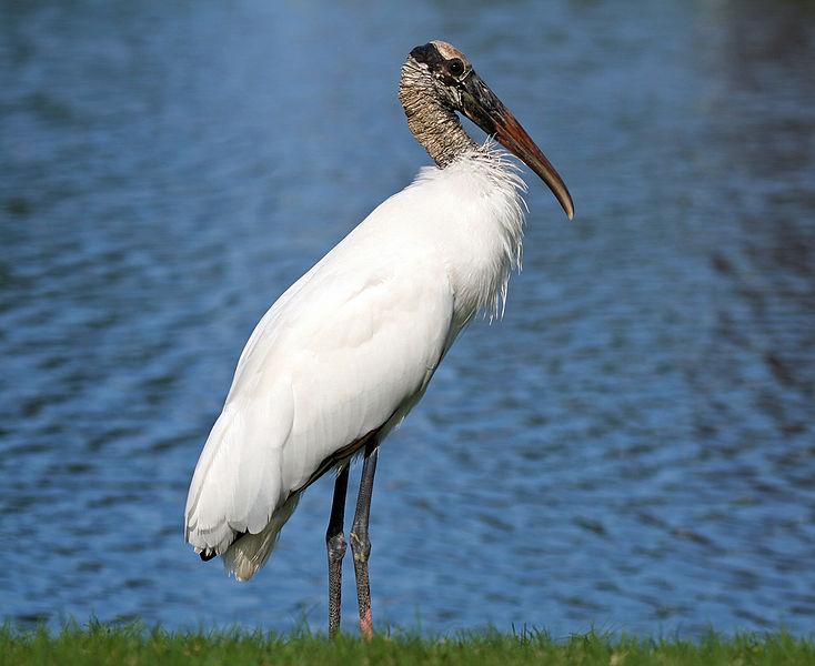 Wood Stork (Mycteria americana),