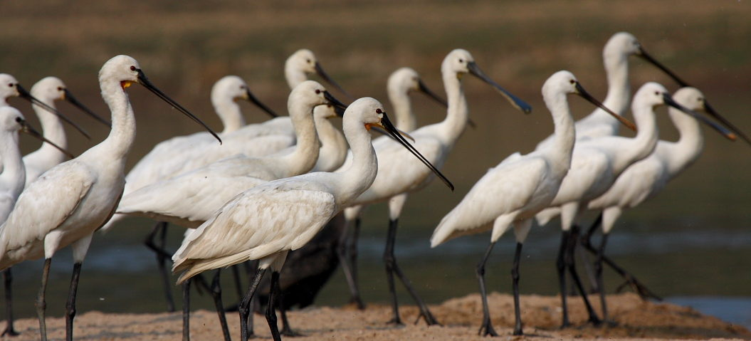 Eurasian Spoonbill - The Stork, Ibis and Spoonbill Specialist Group