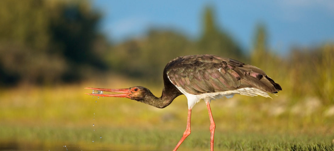 Black Stork - Stork Ibis and Spoonbill Specialist Group