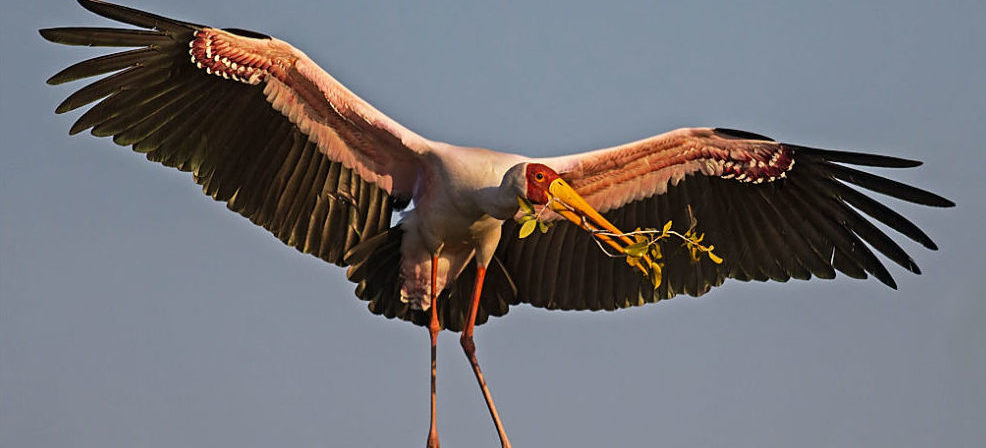 Yellow-billed Stork - Stork Ibis and Spoonbill Specialist Group