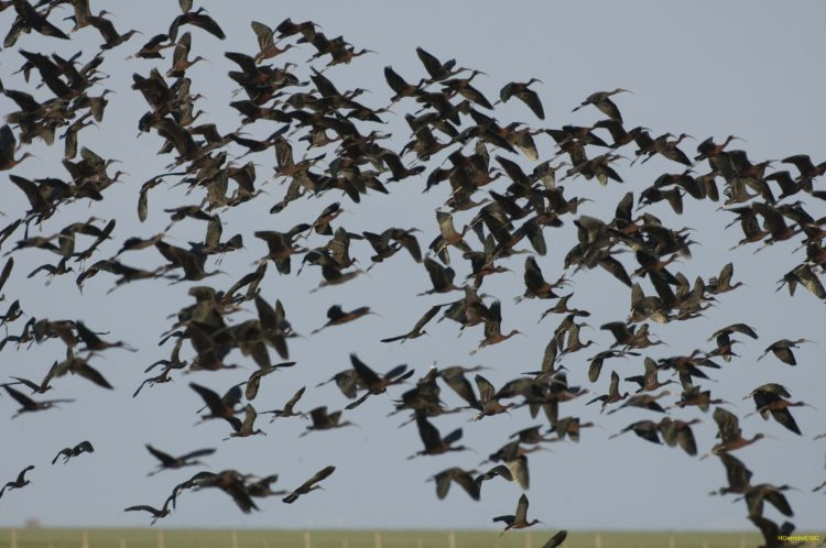 Glossy ibises flying at Doñana marshland, Spain. © Héctor Garrido, 2008.