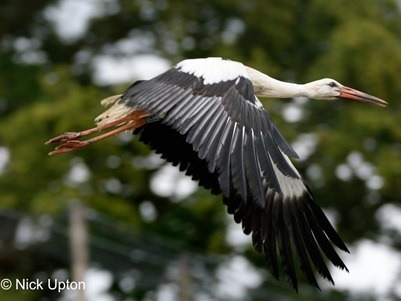 The White Stork Project, the Return to Britain